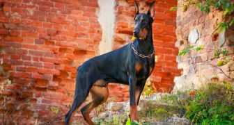 The Best Dog Breeds for Home Security